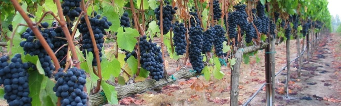 Grapes ready for harvest in a vineyard near Helen, Ga.